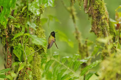 Black-bellied Hummingbird, Costa Rica Stock Images