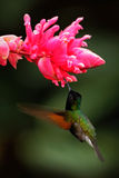 Black-Bellied Hummingbird, Eupherusa nigriventris, rare endemic hummingbird from Costa Rica, black bird flying next to beautiful p Royalty Free Stock Photography