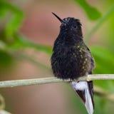 Black bellied hummingbird - Eupherusa nigriventris Stock Photo