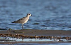 Black bellied Plover Royalty Free Stock Photo