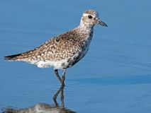 Black-bellied Plover Stock Photo