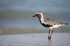 Black Bellied Plover Stock Photos