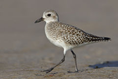 Black-bellied Plover foraging on a Florida beach Royalty Free Stock Photography