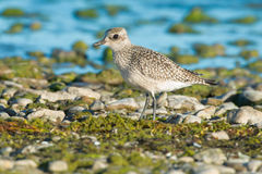 Black-bellied Plover Stock Images
