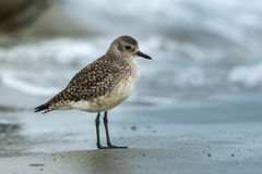 Black Bellied Plover Stock Photo