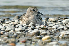 Black-bellied Plover Royalty Free Stock Photography