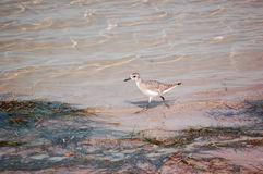 Black -bellied Plover Royalty Free Stock Photos