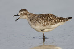 Black-bellied Plover in non-breeding plumage - St. Petersburg, F Stock Photography