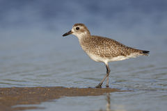 Black-bellied Plover in non-breeding plumage - St. Petersburg, F Royalty Free Stock Images