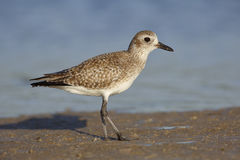 Black-bellied Plover in non-breeding plumage - St. Petersburg, F Stock Images