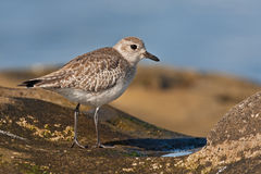Black-bellied Plover (Pluvialis squatarola) Stock Photo