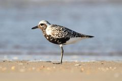 Black-bellied Plover (Pluvialis squatarola) Royalty Free Stock Photography