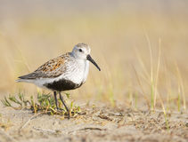 Black-bellied Plover, Pluvialis squatorola Royalty Free Stock Photography