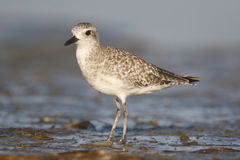 Black-bellied Plover, Pluvialis squatorola Royalty Free Stock Images