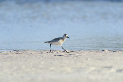 Black-bellied Plover on sand Stock Image