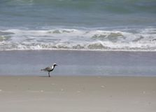 Black-Bellied Plover Stock Photos