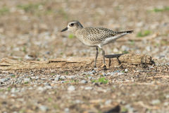 Black-bellied Plover Royalty Free Stock Photo