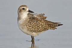 Black-bellied Plover wading in the Gulf of Mexico Royalty Free Stock Photography