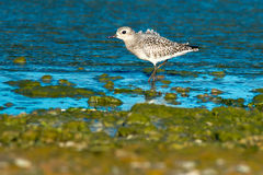 Black-bellied Plover Royalty Free Stock Photos