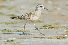 Black-bellied Plover. Walking on the beach royalty free stock image