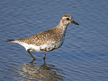 Black-bellied Plover Stock Image