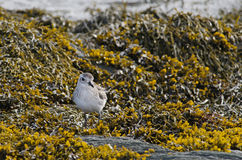 Black-bellied plover Royalty Free Stock Images