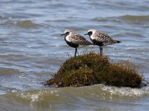 Black-bellied Plovers on an Island Royalty Free Stock Image
