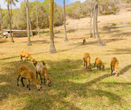 Black-bellied sheep in the windward islands Royalty Free Stock Photo