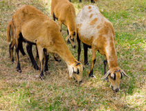 Black-bellied sheep in the windward islands Stock Photos