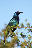 Black-bellied Starling (Lamprotornis corruscus) Royalty Free Stock Photography
