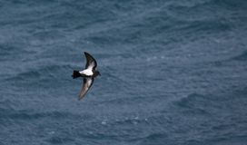 Black-bellied Storm-petrel, Fregetta tropica tropica stock photo