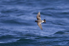 Black bellied Storm Petrel over the sea. Black-bellied Storm Petrel (Fregetta tropica) against a blurred blue sea off Cape Town, South Africa Royalty Free Stock Photography