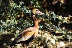 Black-bellied whistling duck Stock Photo