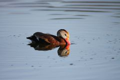Black-bellied Whistling-Duck Royalty Free Stock Photo