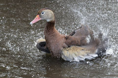 Black-bellied Whistling Duck Bathing in a Florida Swamp Stock Photos