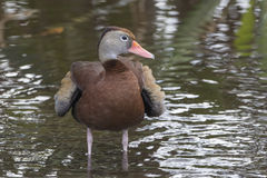 Black-bellied Whistling Duck Bathing in a Florida Swamp Royalty Free Stock Photos