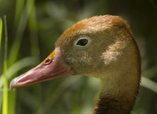 Black-bellied Whistling Duck Stock Images