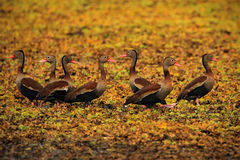 Black-bellied Whistling-Duck, Dendrocygna autumnalis, flock of brown birds in the water march, animal in the nature habitat, Barra Stock Image