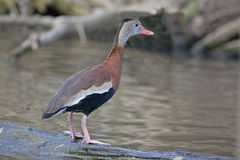 Black-bellied Whistling Duck, Dendrocygna autumnalis on a log Stock Images