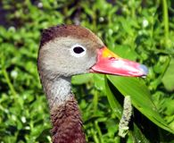 Black-bellied Whistling Duck (Dendrocygna autumnalis) Royalty Free Stock Images