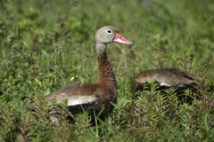 Black-bellied whistling duck, Dendrocygna autumnalis Stock Images