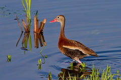 Black-bellied Whistling Duck (Dendrocygna autumnalis) Stock Image