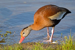 Black-bellied Whistling Duck Stock Image