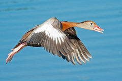 Black-bellied Whistling Duck Royalty Free Stock Photography