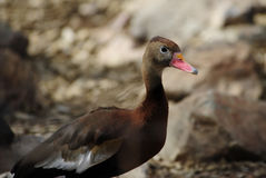 Black Bellied Whistling Duck Royalty Free Stock Photos