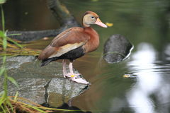 Black-bellied whistling duck royalty free stock photo