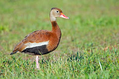Black-bellied Whistling Duck Stock Photos