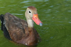 Black-bellied Whistling-Duck. A Black-bellied Whistling-Duck swims regally Royalty Free Stock Image