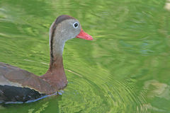 Black-bellied Whistling-Duck. A Black-bellied Whistling-Duck swims regally Royalty Free Stock Photo