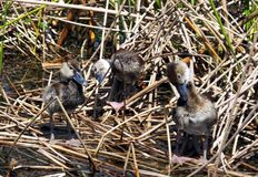 Black-bellied Whistling Ducklings (Dendrocygna autumnalis) Stock Photos